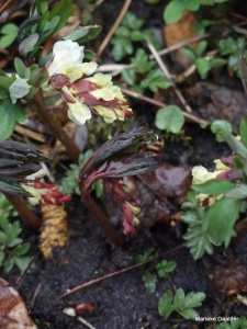 "Corydalis : ""Natures way of apologizing for winter"""