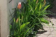 (eko)tulpen en Bieslook een leuke combinatie