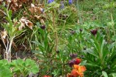 Muurbloemen bloeien vanaf het vroege voorjaar