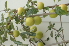 Een appelboom kan ook rijk dragen in pot. Balkon Burgemeester de Monchyplein.