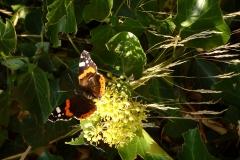 Hedera een van de laatste nectarbronnen