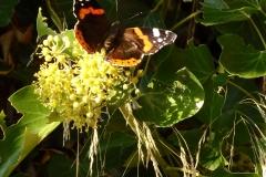 Klimop bloemen goede  late voedselbron voor o.a. vlinders en bijen