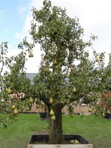 Perenboom van oude fruibomen.nl